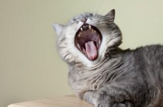 cat-dental