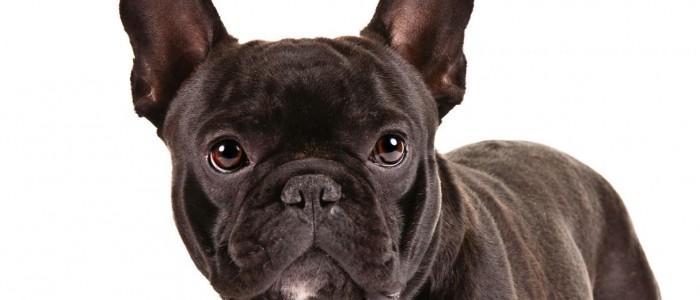 frenchbulldog_hero