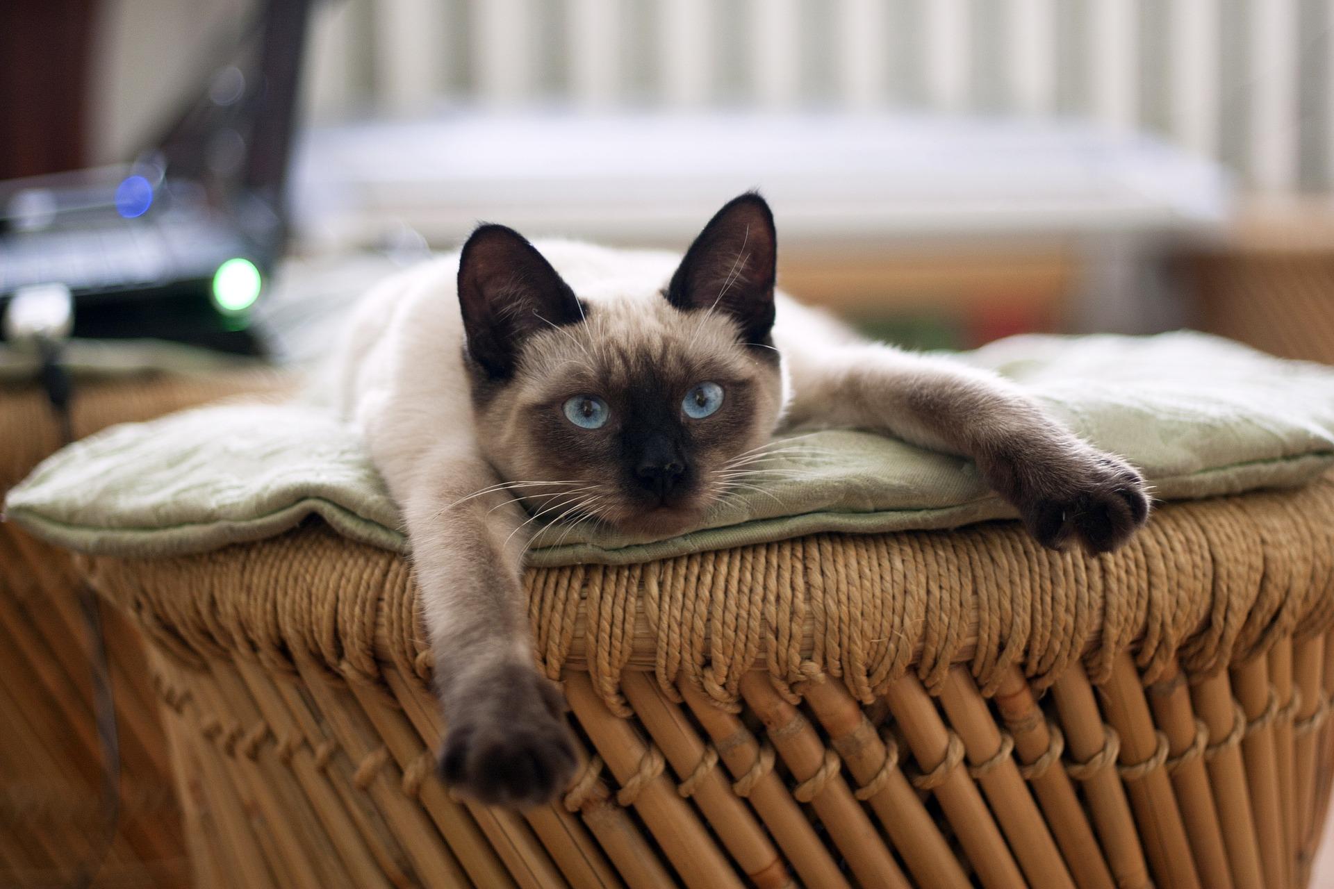 Cat Abscesses   Dr Liza