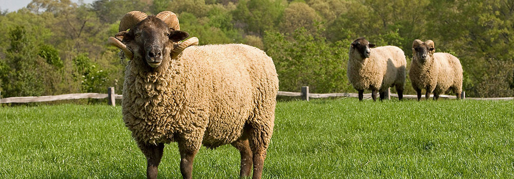 sheep-slide1