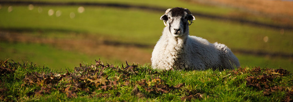 sheep-slide2