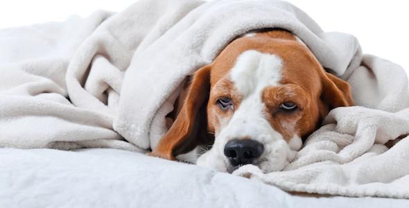 sick-dog-under-blankets_319235351_0